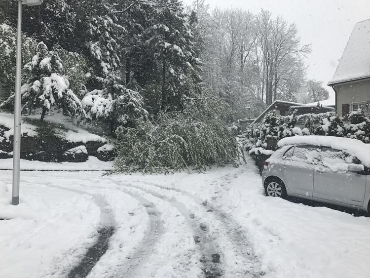 Baum wegen Schnee in Strasse